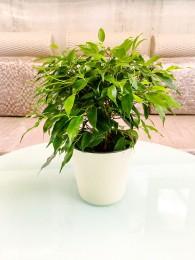 Planta de interior Ficus Benjamina M12 en Maceta decorativa