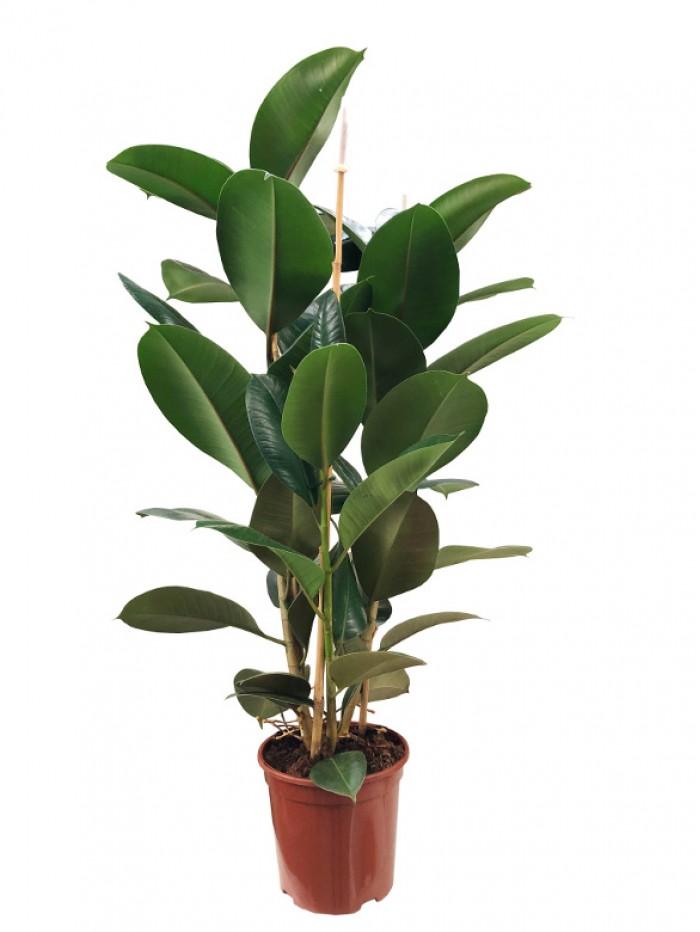 Ficus Robusta 100CM
