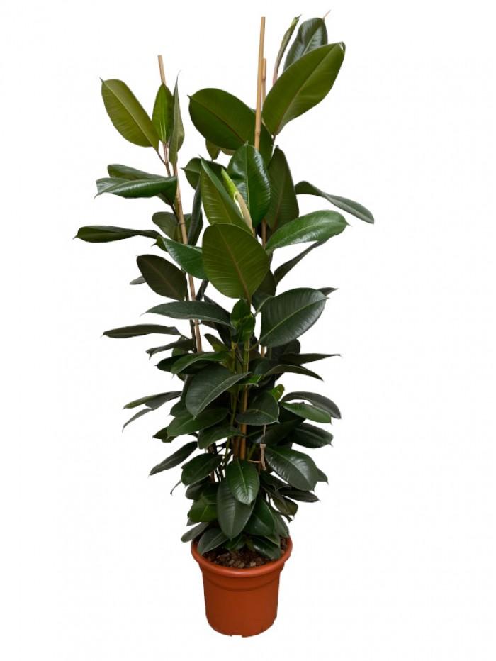 Ficus Robusta 2M