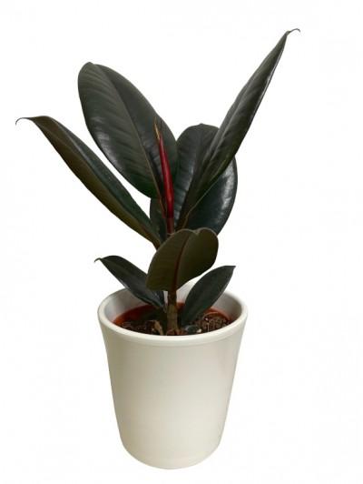 Ficus Robusta M12 Maceta decorativa