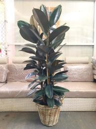 1 Ficus Robusta en cesta( DISPONIBLE SOLO PARA MADRID)