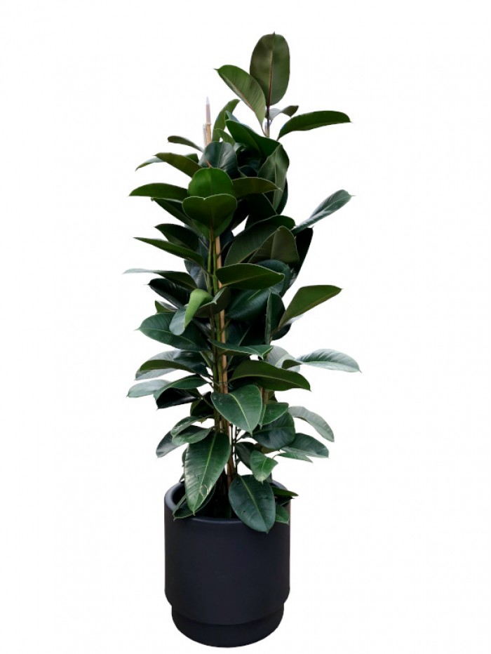 1 Ficus Robusta en hidrojardinera( DISPONIBLE SOLO PARA MADRID)