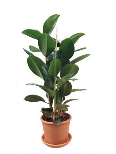 Ficus Robusta 100CM Maceta de barro (DISPONIBLE SOLO PARA MADRID)