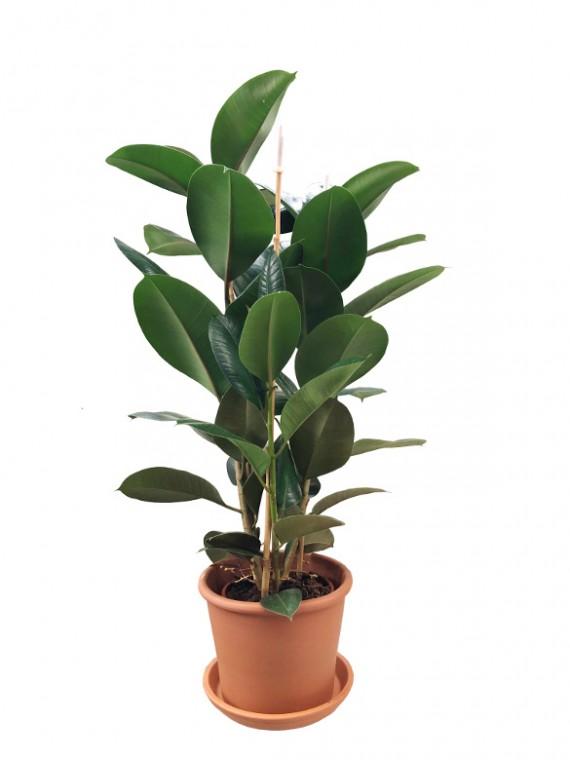 Ficus Robusta 100CM Maceta de barro