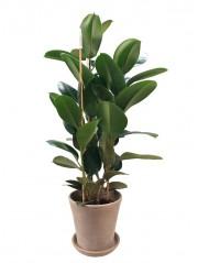 Ficus Robusta 100CM Maceta de barro cocido