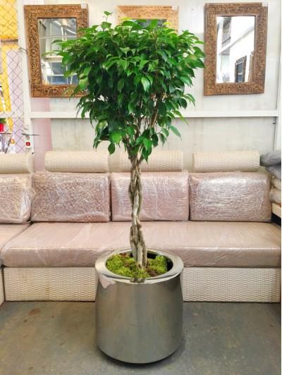 Ficus Trenzado en hidrojardinera  inox(DISPONIBLE SOLO PARA MADRID)