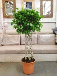 Ficus Benjamina Trenzado Plano (DISPONIBLE SOLO PARA MADRID)