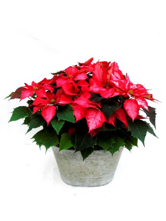 cesta de flores de pascua pinta