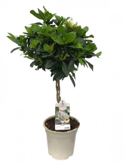 Gardenia arbol