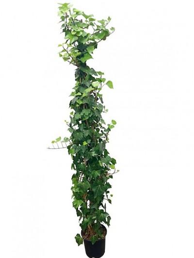 Hedera helix verde 180cm