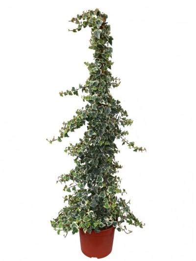 Hedera helix variegata