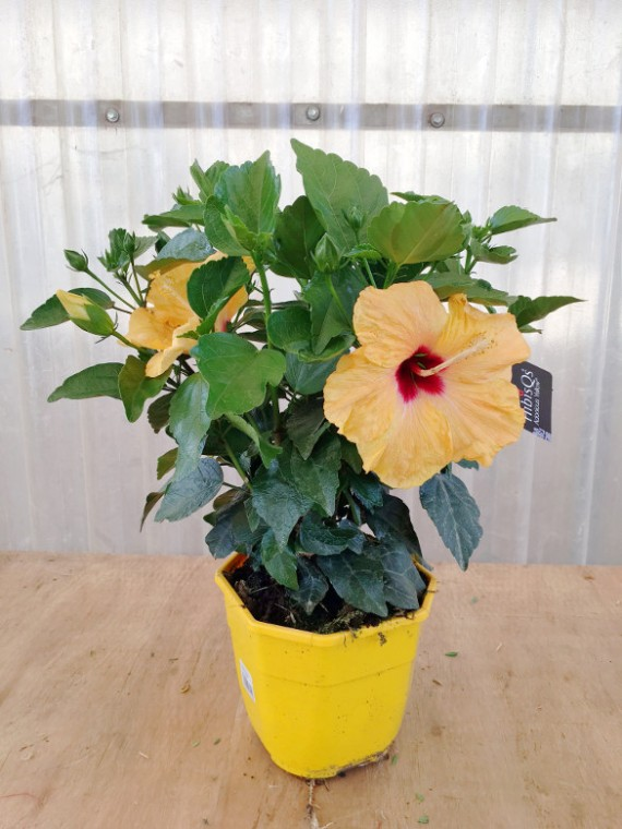 Hibiscus Amarillo