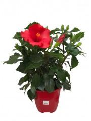 Hibiscus Rojo