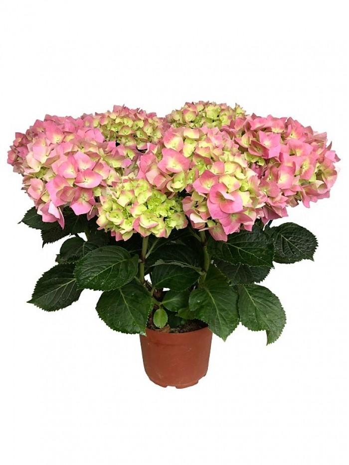 Hortensia rosa