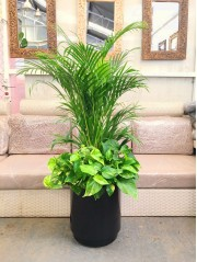 1 Composicion con Areca con potos( DISPONIBLE SOLO PARA MADRID)