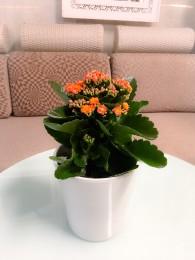Un Kalanchoe naranja en Maceta decorativa