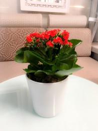Un Kalanchoe Rojo en Maceta decorativa