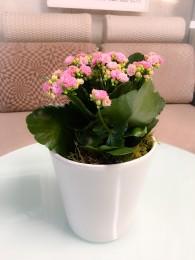 Un Kalanchoe Rosa en Maceta decorativa