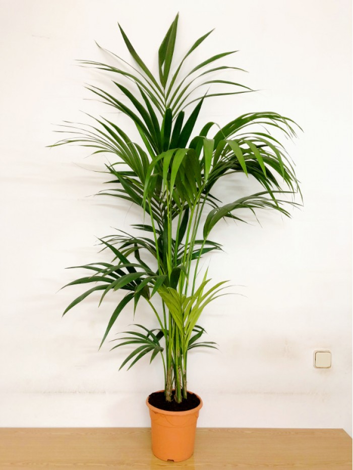 Kentia 150CM (DISPONIBLE SOLO PARA MADRID)