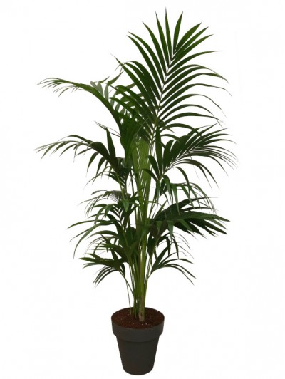Kentia (1.80 - 2.00M) maceta decorativa (DISPONIBLE SOLO PARA MADRID)