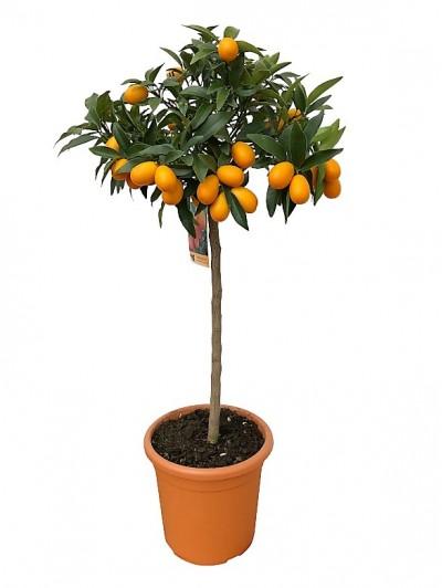 Naranjo kumquat arbolito