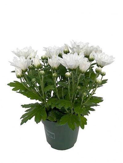 Crisantemo blanco M12