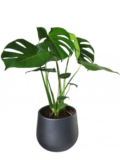 Monstera en maceta decorativa gris