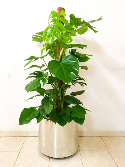 1 Monstera en Hidrojardinera INOX (DISPONIBLE SOLO PARA MADRID)