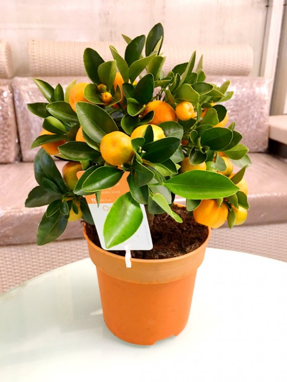 Bonsai calamondin