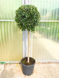 Olivo Palo Bola M40