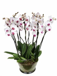 Centro de 5 orquideas blancas con morado