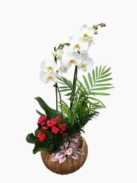 1 Cesta de plantas con orquidea blanca