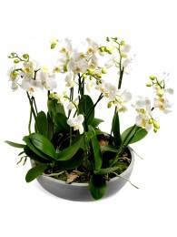 Centro de Orquideas blancas en maceta de fibra( DISPONIBLE SOLO PARA MADRID)