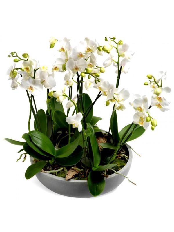 Orquidea blanca en maceta decorativa - Maceta para orquideas ...