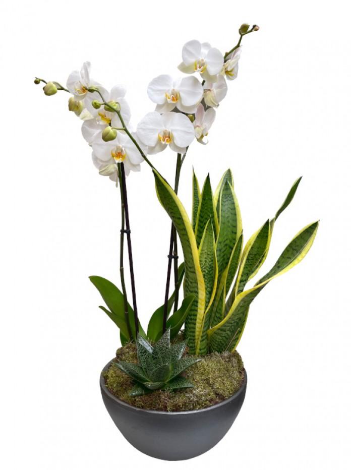 Orquidea Blanca con Sanseviera en ceramica