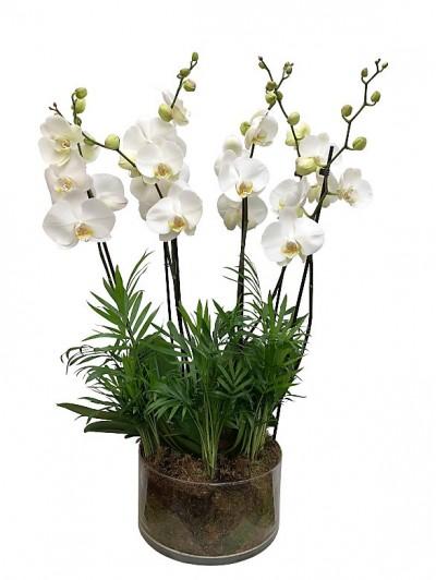 Centro de orquidea blancas con chamaedorea
