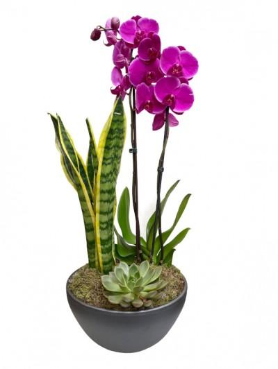 Orquidea Morada con Sanseviera en ceramica