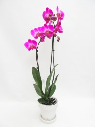 Orquidea morada en vaso ceramica