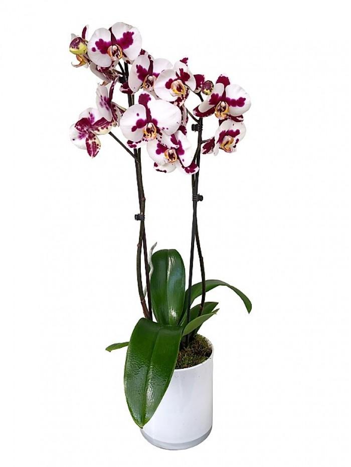 1 centro de orquidea bicolor en cristal cuadrado