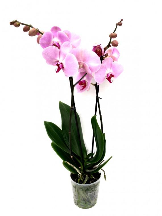 Orquidea rosa M12