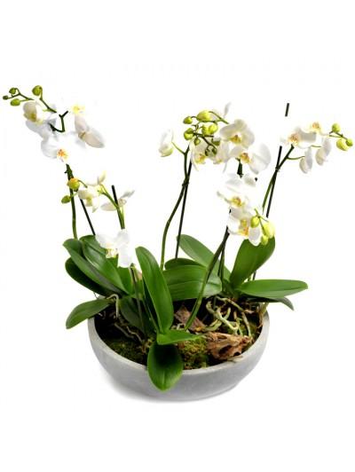 Centro de tres  Orquidea blanca en maceta de fibra