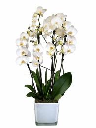 Centro de tres orquideas blancas en cristal blanco