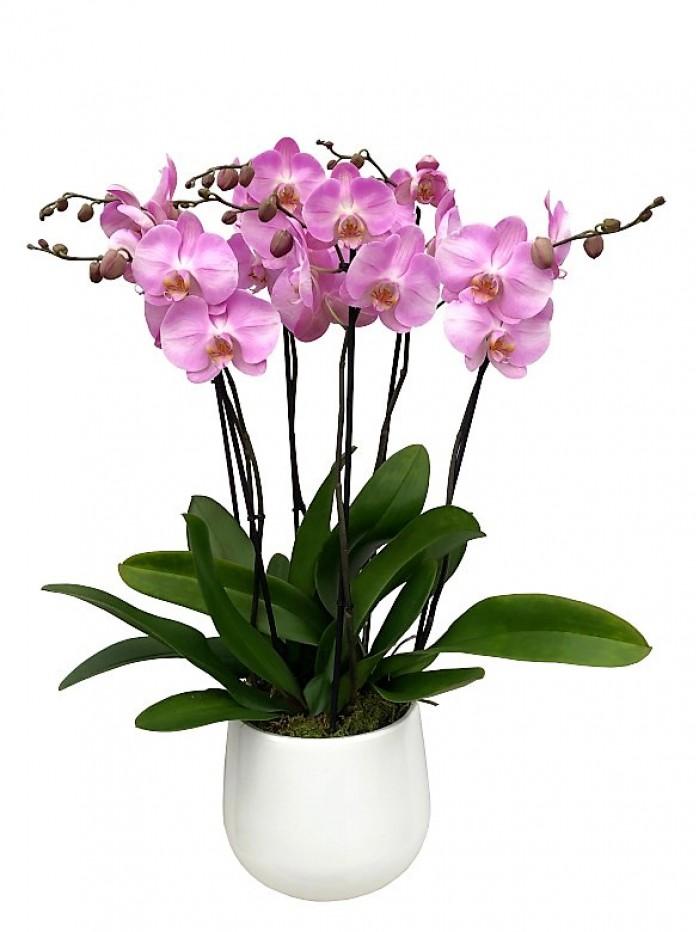 1 Centro de tres orquídeas rosas en cerámica blanca