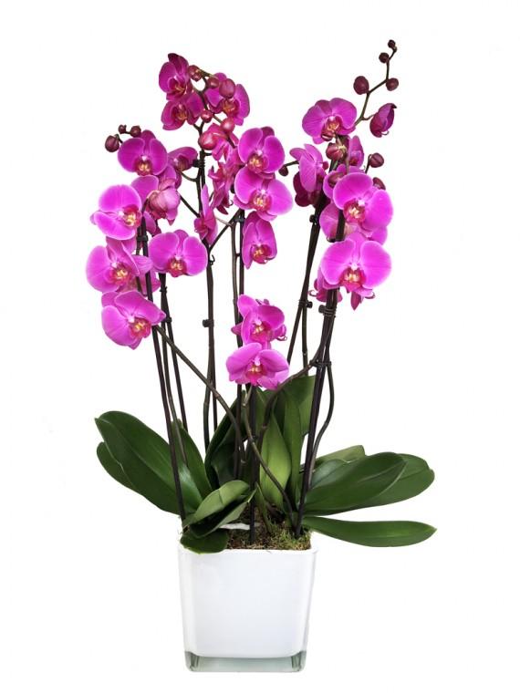 Centro de tres orquideas rosas en cristal blanco