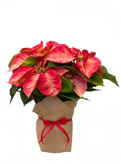 1 Poinsettia color decorada