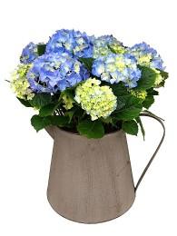 Centro de hortensias azul regadera