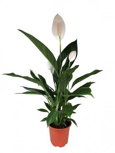spathiphyllum M17