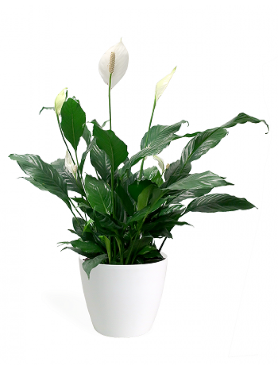 spathiphyllum en maceta de ceramica