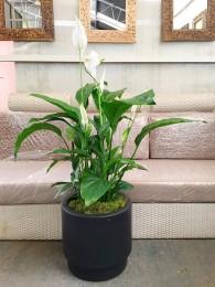1 Spathiphyllum en maceta de autorriego