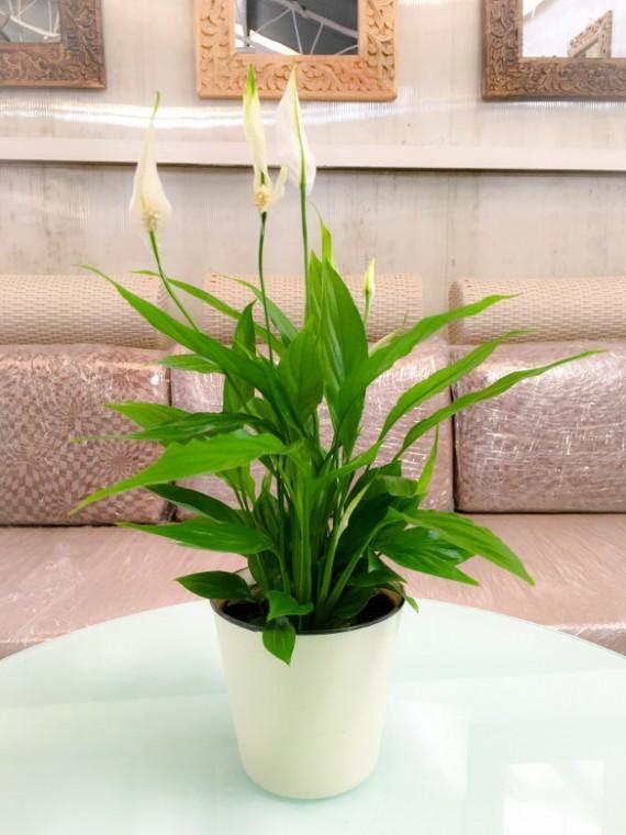 1 Spathiphyllum M12 decorativa